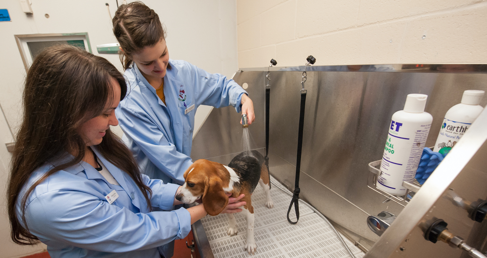 two veterinarians washing a beagle