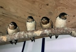 The barn swallow fledglings at the AVC Wildlife Service. Photo: Austin Ebbott